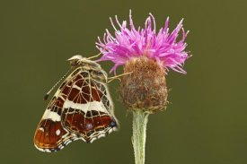 Silvia Reiche - Map Butterfly on Knapwort Harshweed, Hoogeloon, Noord-Brabant, Netherlands