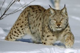 Willi Rolfes - Eurasian Lynx in snow, Flatanger, Norway