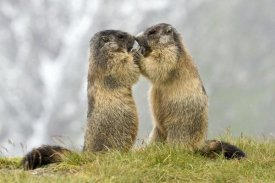 Willi Rolfes - Two Alpine Marmots, Hohe Tauern National Park, Austria