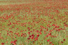 Cyril Ruoso - Red Poppy in a cereal field, Yonne, France