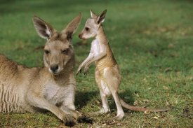 Cyril Ruoso - Eastern Grey Kangaroo mother with joey, Australia