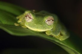 Cyril Ruoso - Glass Frog, Sierra Nevada de Santa Marta, Colombia