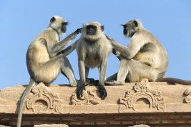 Cyril Ruoso - Hanuman Langur three on building grooming each other, Rajasthan, India