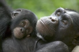 Cyril Ruoso - Chimpanzee adult female and infant, Pandrillus Drill Sanctuary, Nigeria