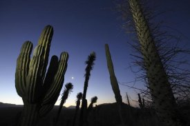 Cyril Ruoso - Boojum Tree and Cardon cacti at dusk, El Vizcaino Biosphere Reserve, Mexico