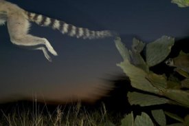 Cyril Ruoso - Ring-tailed Lemur leaping from a cactus, vulnerable, Berenty Private Reserve, Madagascar