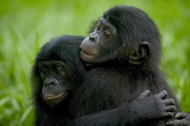 Cyril Ruoso - Bonobo pair of orphans hugging, Sanctuary Lola ya Bonobo, Democratic Republic of the Congo