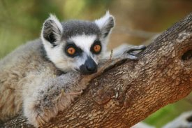 Cyril Ruoso - Ring-tailed Lemur resting on a tree branch, vulnerable, Berenty Private Reserve, Madagascar