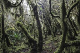 Cyril Ruoso - Paramo ecosystem 3000m above sea level with dwarfed trees and mosses, Chingaza National Park, Colombia