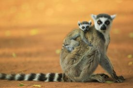 Cyril Ruoso - Ring-tailed Lemur mother with baby clinging to her back, vulnerable, Berenty Private Reserve, Madagascar