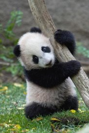 San Diego Zoo - Giant Panda cub, native to China