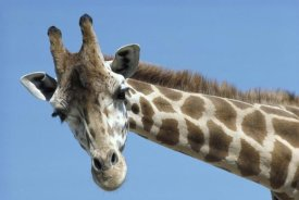 San Diego Zoo - Reticulated Giraffe portrait, native to Africa