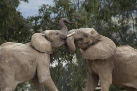 San Diego Zoo - African Elephant bulls sparring, native to Africa