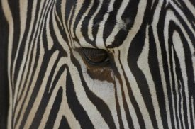 San Diego Zoo - Grevy's Zebra close up of eye, endangered, native to Africa