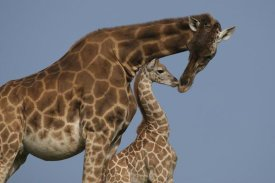San Diego Zoo - Rothschild Giraffe mother and calf nuzzling, native to Africa