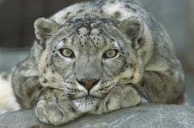 San Diego Zoo - Snow Leopard portrait native to mountainous regions of central Asia