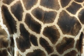 San Diego Zoo - Rothschild Giraffe detail of coat pattern, native to Uganda and Kenya