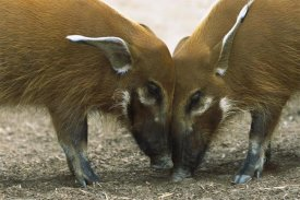 San Diego Zoo - Red River Hog pair standing face to face, a highly social bush pig native to Africa