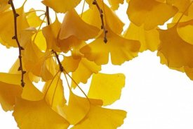 Aad Schenk - Ginkgo leaves in autumn, Netherlands