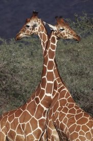 Anup Shah - Reticulated Giraffe pair, Samburu National Park, Kenya
