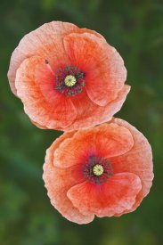 Wahrmut Sobainsky - Red Poppies