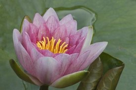 Joke Stuurman-Huitema - Amazon Water Lily flower, Netherlands