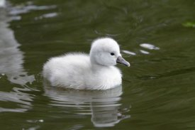 Duncan Usher - Mute Swan cygnet on lake
