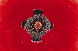 Duncan Usher - European Red Poppy close up of pistil and stamen, Europe