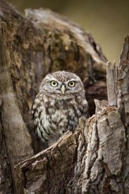 Michiel Vaartjes - Little Owl in a hollow tree stump, Netherlands