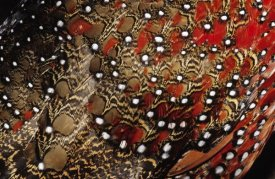 Jan Van Arkel - Ring-necked Pheasant detail of back feathers from a male, Europe