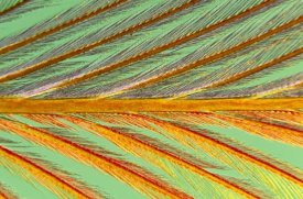 Jan Van Arkel - Close up of feather showing barbules branching off from barb and tiny barbicels