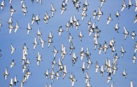 Frits Van Daalen - Black-tailed Godwit flock flying overhead, Europe