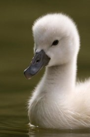 Marcel van Kammen - Portrait of a Mute Swan chick on the water