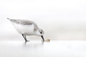 Marcel van Kammen - Sanderling foraging on the beach, IJmuiden, Netherlands