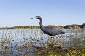 Marcel van Kammen - Little Blue Heron wading, Everglades National Park, Florida