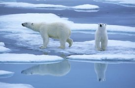 Rinie Van Meurs - Polar Bear pair on ice with reflection, Spitsbergen