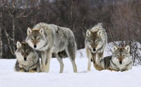 Jan Vermeer - Gray Wolf group, Norway
