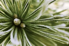 Jan Vermeer - Scotch Pine close up, Europe