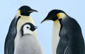 Jan Vermeer - Emperor Penguin family, Weddell Sea, Antarctica