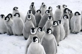 Jan Vermeer - Emperor Penguin chicks, Snow Hill Island, Antarctica