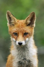 Jan Vermeer - Red Fox, Hoge Veluwe National Park, Gelderland, Netherlands