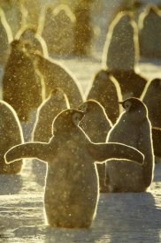 Jan Vermeer - Emperor Penguin chicks, Riiser-Larsen Ice Shelf, Antarctica