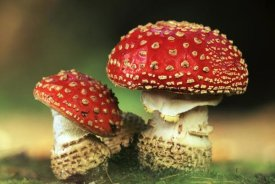 Jan Vermeer - Fly Agaric pair, highly toxic, grows under pine trees, Europe
