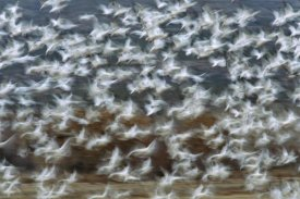 Tom Vezo - Snow Goose flock taking flight, Bosque del Apache National Wildlife Refuge, New Mexico