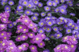 VisionsPictures - Aster flowers