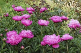VisionsPictures - Peony flowers