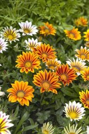 VisionsPictures - Gazania flowers