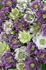 VisionsPictures - Hellebore flowers