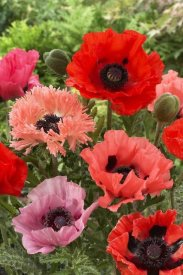 VisionsPictures - Oriental Poppy flowers