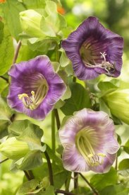 VisionsPictures - Cup-and-saucer Vine flowers